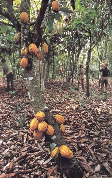 cocoa plant 001